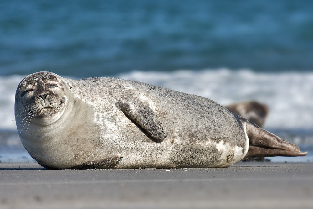 """""""Oink, oink indeed,"""" said the Harbor Seal."""